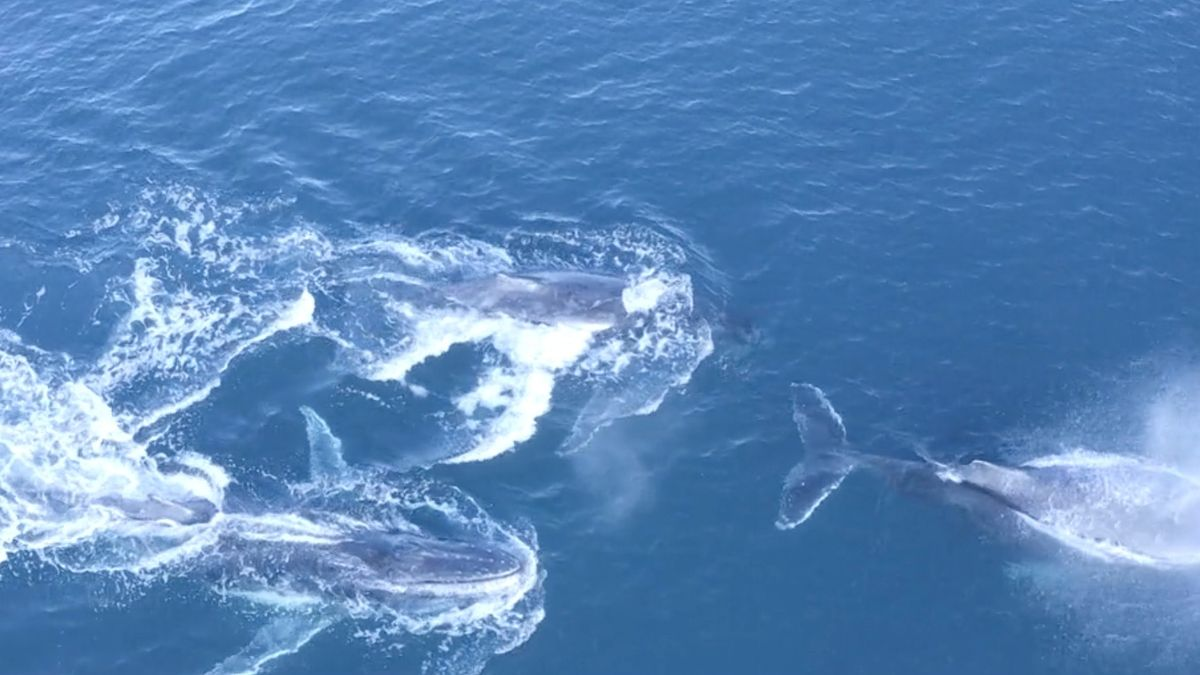 Unbelievable super group of whales caught on film as creatures trap prey in bubbles